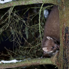 Night critter (Brge Wahl) Tags: night forest mammal darkness marten spruce martesmartes pattedyr mar