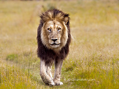 Walkabout (kandace109) Tags: africa lion architectural safari stockphotos botswana predator bigcats naturephotography africansafari landscapephotography kingofthejungle africanwildlife maun africanbirds botswanasafari africannature naturestockphotography pantheroleo stockpictures texasphotographer stocklandscapephotography kandaceheimerphotography kandfotocomphotography kandaceheimernaturephotography stocknaturephotos stocksportcarsphotography africanstockphotography botswanastockphotography