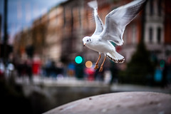 Seagull Landing (Mabry Campbell) Tags: street bird water animal canon photography canal fly flying photo skne wings europe flickr december fav50 sweden bokeh seagull feathers 85mm fav20 explore photograph 100 scandinavia campbell fav30 malm malmo 2012 mabry f20 skane fav10 flickrexplore fav100 fav200 explored fav40 ef85mmf18usm fav60 fav110 fav90 fav150 fav170 fav80 fav70 fav120 canoneos5dmarkii fav140 fav160 fav180 fav190 fav130 fav210 fav220 sec mabrycampbell mabrycampbellcom december222012 201212221399