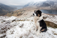 Molly with Llyn Ogwen and Cwm Idwal (GOLDENORFE) Tags: snow mountains bordercollie snowdonia ygarn