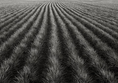 In a Field, Sauvie Island (austin granger) Tags: film field grass earth farm soil crop groove plow largeformat sauvieisland furrow topography deardorff austingranger