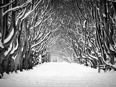 beech forest (♥Adriënne - catching up......) Tags: monochrome westhove beechforest beukenbos winterinthenetherlands 16januari2013 demantelinge
