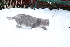 039 (piaktw) Tags: winter playing cat kitten sweden britishshorthair got luddkolts zigne bluetortiespotted
