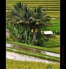Bali: Jatiluwih (Jambo Jambo) Tags: bali panorama indonesia landscape ricepaddies ricefields risaie jatiluwih unseenasia nikond5000 jambojambo