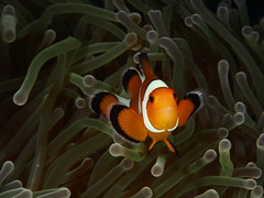 Nemo .False Percula Clownfish (Amphiprion ocellaris) (Marcel Waldis Underwater Photography) Tags: red sea fish macro nature animal fly flying photo underwater phiphi nemo dynamic air natur deep diving olympus adventure clownfish fotos micro scubadiving 60mm activity phuket reef makro kohphiphi f28 krabi underwaterworld omd andaman andamansea underwaterphotography amphiprionocellaris mft fourthirds 60mmf28 em5 photox adamansea seaandsea aneone photographyx micro43 microfourthirds nauticam divingx omd5 underwatterfotography seasea110a sailrockdiver seaandsea110a olympusomdem5 omdem5 solaphoto1200 nauticamnaem5 olympus60mmf28macrolens falseperculaclownfishamphiprionocellaris marcelwaldis