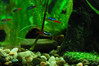 Neon Tetras (kate akatombo) Tags: plantedtank neontetra neonfish woodlandtale makingeverydaybeautiful