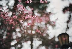 the start of something good (manyfires) Tags: pink film lamp oregon analog 35mm spring bokeh branches blossoms nikonf100 bloom pacificnorthwest pdx pnw plumtree laurelhurstpark