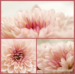 Mum's 'Mums (belincs) Tags: uk pink white plant flower daylight europe triptych indoor lincolnshire bloom 365 chrysanthemum 2013 raynoxdcr250 nikon50mmlens nikond5000 march2013 113picturesin2013