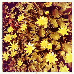 """#yellow #spring #flowers #celandines in my #garden • <a style=""""font-size:0.8em;"""" href=""""https://www.flickr.com/photos/61640076@N04/8539540933/"""" target=""""_blank"""">View on Flickr</a>"""