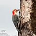 "Red Bellied Woodpecker-9191<br /><span style=""font-size:0.8em;"">With insect in beak</span> • <a style=""font-size:0.8em;"" href=""http://www.flickr.com/photos/18570447@N02/8546120699/"" target=""_blank"">View on Flickr</a>"