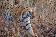 Tigress on Prowl from Tadoba India [Nikon D7000][Nikon 300 F4 AF-S] (Mayur Kotlikar) Tags: wild nikon natural tiger reserve 300 habitat f4 tigress afs prowl territory tadoba andhari d7000