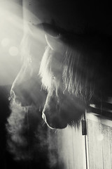 Winter Sun (Ggja Einars..) Tags: winter horses horse sun black cold cute nature beautiful animals barn canon dark eos iceland europe soft ray smoke watching mystical staring equine mane icelandic icelandichorse hestur icelandichorses hesturinn slenski ggja gigja einarsdottir gigjaeinarsdottir