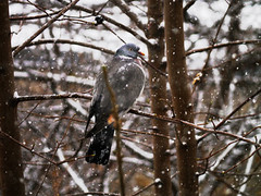 bird (paologmb) Tags: winter brown white snow paris cold bird fur waiting pigeon branches snowing resting paologamba affordabledresses moyanit abukij paulpiciorul wintercollectiondamdress ppa53e