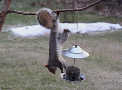 Gray Squirrel (Diane Marshman) Tags: tree bird squirrel branch gray seed feeder off sunflower hanging