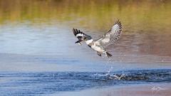 Emerging Kingfisher (m_Summers) Tags: fish bird nature utah spring fishing northernutah wildlife flight dive kingfisher bif beltedkingfisher birdinflight canon400mmf56 canon60d