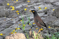 Common Mynah (D R Swift) Tags: mynah commonmynah