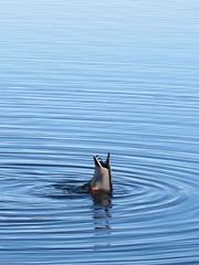 Does my bum look big in this? (ambo333) Tags: uk england lake duck wildlife ducks diving cumbria rowing boathouse tarn talkin brampton talkintarn carlislecitycouncil talkinvillage talkintarncountrypark