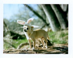 It's Chihuahua Bunny season! (EllenJo) Tags: chihuahua easter polaroid floyd bunnyears verderiver 9yearsold march24 polaroidlandcamera jailtrail instantfilm cottonwoodaz 2013 thelittledoglaughed fujiinstantfilm 86326 ellenjo oldtowncottonwood ellenjoroberts chihuahuabunny riparianarea bornin2003 polaroidpathfinder march2013 rollfilmcameraconvertedtopackfilm convertedpathfinder