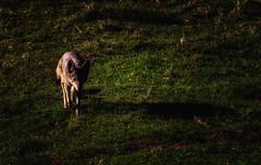 The Shadow (Davor Desancic) Tags: california coyote sunol sunolregionalwilderness