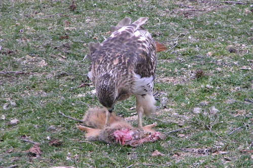 Red-Tailed Hawk Enjoying Breakfast at the University of Michigan, Ann Arbor (March 25, 2013)