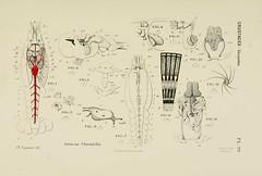 n136_w1150 (BioDivLibrary) Tags: anatomy worms arthropoda invertebrates mollusks cnidaria echinodermata ctenophora protozoans mesozoa anatomycomparative harvarduniversitymczernstmayrlibrary bhl:page=11819295 dc:identifier=httpbiodiversitylibraryorgpage11819295