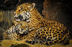 Jaguar and Cub (Eve'sNat