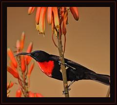 Scarlet-chested Sunbird male (Rainbirder) Tags: kenya ngc tsavowest scarletchestedsunbird chalcomitrasenegalensis nectariniasenegalensis rainbirder