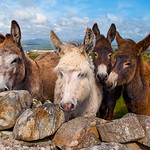 "The Friendly Donkeys of Mannin <a style=""margin-left:10px; font-size:0.8em;"" href=""http://www.flickr.com/photos/89335711@N00/8595233899/"" target=""_blank"">@flickr</a>"