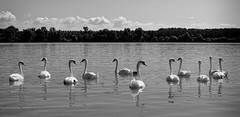 Ballet on the water ( Mikica Kosanovic ) Tags: swan czj flektagon a6000 danube river nature