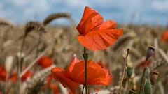 not only poppies ... (Explore 31July16 #444) (robvanderwaal) Tags: netherlands klaproos graan nederland zomer 2016 bloem corn robvanderwaalphotographycom veld poppy bloemen poppies rvdwaal summer voorne voorneputten field flower flowers