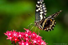 Papilio demodocus, citrus swallowtail or Christmas butterfly (DiDaDoDeborah) Tags: butterfly butterflies vlinder vlinders vlindorado insect flickrinsects closeupinsect bestinsect papilio demodocus citrus swallowtail christmas