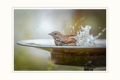 Refreshing bath (Krasne oci) Tags: birdbath bird water waterdrops bathing wildbird splashing dof evabartos gardening nature 0431