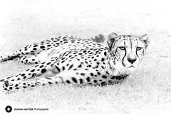 Clean (Jochen van Dijk) Tags: cheeta bigcat cat instacat wildlife safari africa speed nature art fineart photography natgeo blackandwhite animal