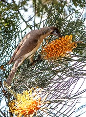 A Little Friarbird in my garden...native Australian Honeyeater (Anni - with camera) Tags: littlefriarbird nectar pollen grevillea flower philemoncitreogularis australianhoneyeater