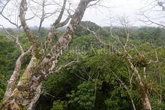 60071608 (wolfgangkaehler) Tags: 2016 southamerica southamerican ecuador ecuadorian latinamerica latinamerican rionapo rionapoecuador rionaporiver rainforest coca cocaecuador laselvalodge observationtower tower rainforestcanopy epiphyticplants epiphyte epiphytes trees