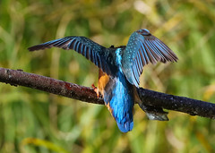 Kingfisher Female Alcedo atthis 061-1 (cwoodend..........Thanks) Tags: 2016 brandon brandonmarsh steetleyhide westmarshpool wwt warwickshirewildlifetrust kingfisher kingfisherfemale alcedoatthis