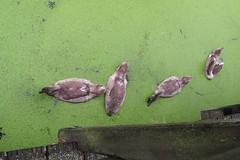 4 jonge zwanen (Olga and Peter) Tags: zwanen swans kroos duckweed diemen zwanenpad fimg14826