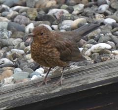 Amsel (, Ting Chen, Wing) Tags: amsel turdusmerula blackbird