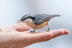 Red Breasted Nuthatch (Linda Martin Photography) Tags: birds mudlake ottawa wildlife nature sittacanadensis canada animals redbreastednuthatch ontario coth ngc