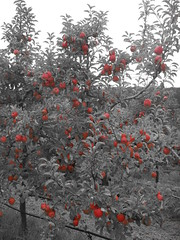 DSCN0375 (mavnjess) Tags: 1 may 2016 cripps pink lady apples orchard red black white bw sacha cin lucinda giblett cooking hibiscus compost composting compostbays chestnuts chestnut tree train carriages rainbow trolley bus trolleybus carriage