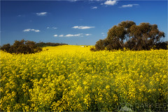 Canola Fields Forever (Darkelf Photography) Tags: york western australia landscape sunlight canola fields plants flora outback country polariser filter canon rural 24105mm 5diii maciek gornisiewicz darkelf photography canolafieldsforever 2016