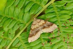 a little moth................ (Suzie Noble) Tags: moth bracken fern strathglass struy insect