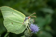 Common Brimstone (Harry Sterken) Tags: arthropod citroenvlinder geleedpotige gonepteryxrhamni insect macro pieridae witjes commonbrimstone