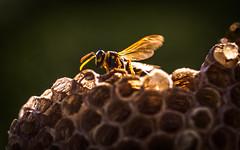 the guardian (Florian Grundstein) Tags: wespen insekten nest wespennest makro details macro whasp yellow black olympus omd em1 zuiko pro 40150 mft bokeh closeup