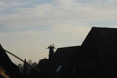 Dcher im Blick; Bergenhusen, Stapelholm (24) (Chironius) Tags: stapelholm bergenhusen schleswigholstein deutschland germany allemagne alemania germania    ogie pomie szlezwigholsztyn niemcy pomienie storch tier vogel