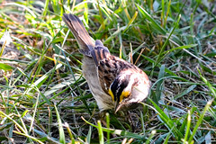 TSR11 023 WHITE THROATED SPARROW.jpg (stewartbentley46) Tags: canada quebec tsr whitethroatedsparrow