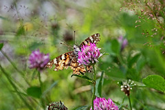 IMG_6490 (pappleany) Tags: pappleany schmetterling falter tagfalter distelfalter butterfly natur outdoor insekt