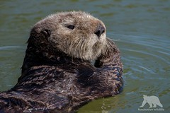 Sea Otter (fascinationwildlife) Tags: animal mammal sea otter wild wildlife nature natur monterey bay moss landing harbour ocean pacific seeotter cute california usa america