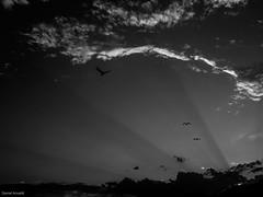 Seagulls in sunset light (Daniel Arnaldi) Tags: australasia australia bird gullsternsordercharadriiformesfamilylaridae landscape landscapephotography light newsouthwales oceania pacificgulllaruspacificus soldierspoint clearsky clouds glow sky sunset sundown danielarnaldiphotographer