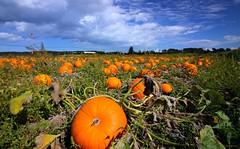 More Pumpkins (CanMan90) Tags: pumpkin patch michellsfarm saanich britishcolumbia vancouverisland canada cans2s canon rebelt3i fields clouds summer sunshine efs1018mmf4556isstm wideanglelens